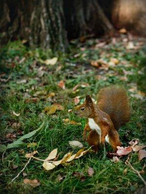 Obraz wiewiórka