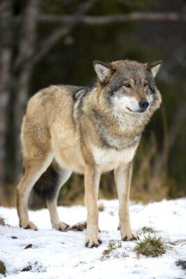 Obraz Wilk stojący w lesie ostrej zimy