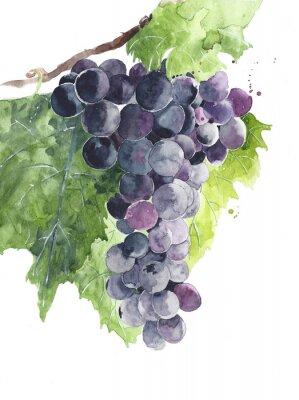 Winogronowe czarne winogrona na winorośli ilustracji akwarela na białym tle