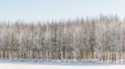Obraz Wintry brzozy w Finlandii