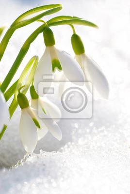 Wiosenne kwiaty przebiśnieg