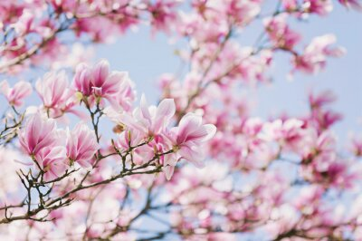 Obraz Wiosna! Kwitnąca Magnolia