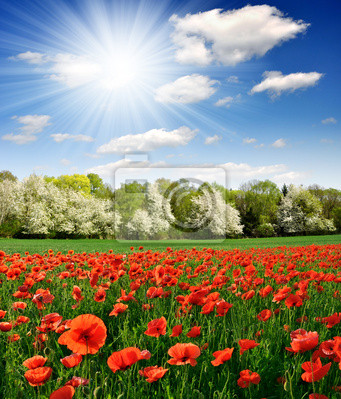 Wiosnę krajobraz z czerwonym makiem