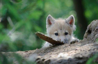 Obraz wolf cub