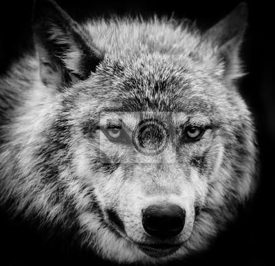 Obraz Wolf Eyes czarno-biała głowa strzał z szarego wilka.