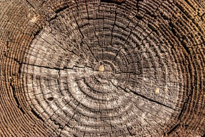 Obraz Wooden surface of cut oak timber with annual circles closeup