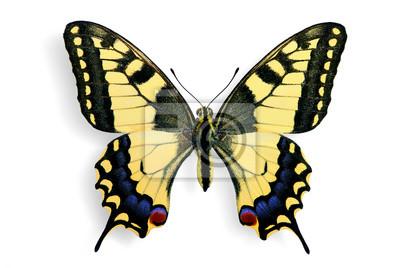 Obraz Wzór wspólnego (Papilio machaon)