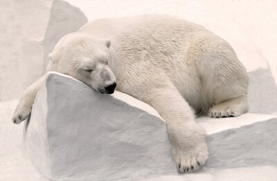 Obraz Белый медведь спит.
