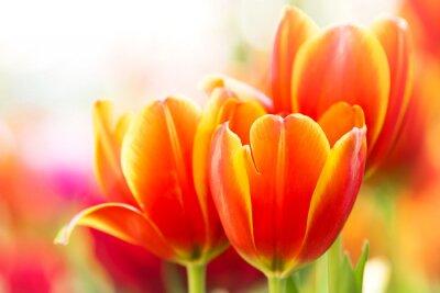 Obraz Zakończenie pomarańczowy tulipanowy kwiat w naturze