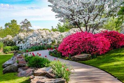 Obraz Zakrzywiona ścieżka przez banki Azeleas i pod drzewami dereń z tulipanów pod błękitnym niebem - Piękno natury