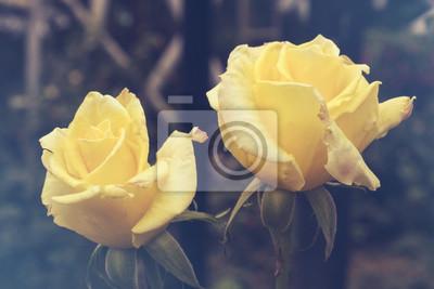Zamazany dla tła. Piękny zakończenie kolor żółty róża z zielonymi liśćmi w ogródzie różanym.