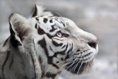 Obraz Zamknij się portret Biały Tygrys bengalski. Najpiękniejsza zwierząt i bardzo niebezpieczne zwierzę na świecie. To ciężka raptor jest perłą przyrody. twarz portret Zwierząt.