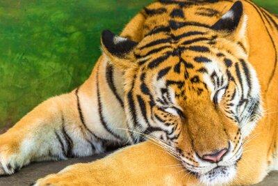 Obraz Zamknij się z wielkiego tygrysa spania na zewnątrz, Tajlandii, Azji.