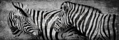 Obraz Zbliżenie zebry wypas na łące suchej