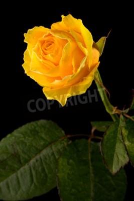 Zbliżenie żółta róża z zielonymi liśćmi na czarnym tle