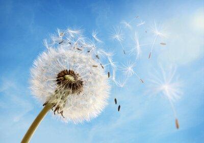 Obraz Zegary Dandelion nasion rozpraszający