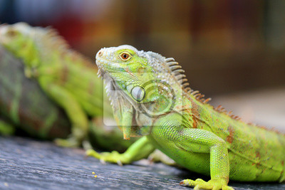 Obraz zielona jaszczurka iguana