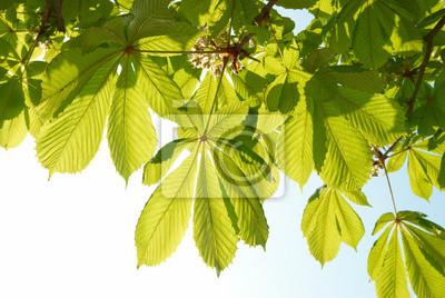 Zielone liście kasztanowca.
