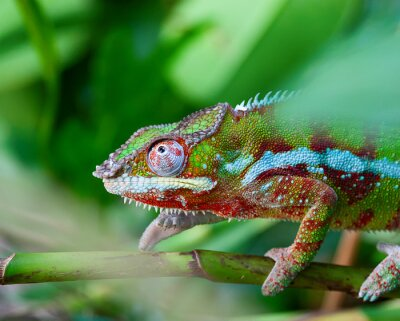 Obraz Zielony kameleon