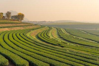 Obraz Zielony wzór farm herbata w godzinach porannych