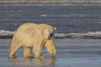 Obraz Ziewanie Niedźwiedź polarny chodzenia na lodzie