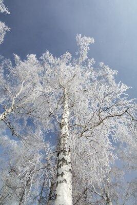 Obraz Zimowe brzozy las