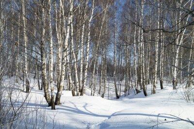 Obraz Zimowy krajobraz z białej brzozy