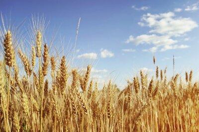Obraz Złote pole pszenicy