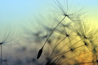 Obraz Złoty zachód słońca i mniszek, medytacji zen w tle