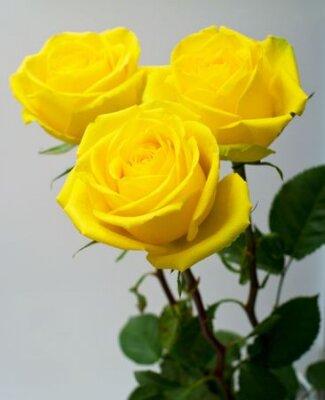 Żółte róże z zielonymi liśćmi na popielatym tle. Płytkie DOF