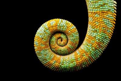 Obraz Zwinięty ogon kameleon Jemenie samodzielnie na czarnym tle