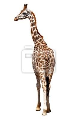 żyrafa izolowane
