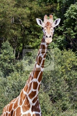 Żyrafa, najwyższy zwierząt