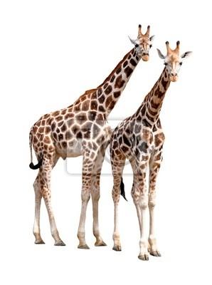 żyrafy izolowane