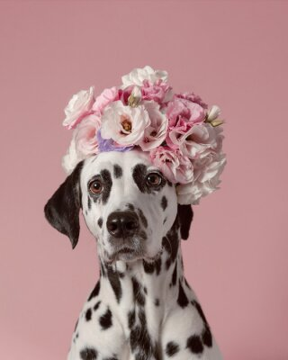 Plakat Adorable dalmatian dog with wreath on pink background. Dog portrait with floral crown. I love you. Happy Valentines Day concept