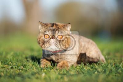 Plakat Adorable kotów egzotycznych krótkowłosych stwarzających na trawie