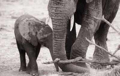 Plakat African elephant calf