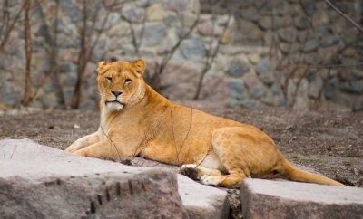 Plakat African Lion