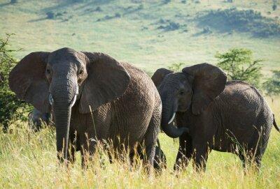 Plakat Afrykańskie słonie na afrykańskiej sawannie