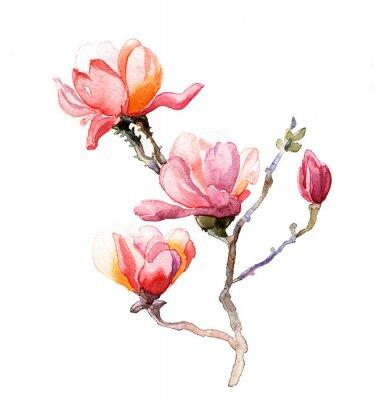 Plakat akwarela magnolia samodzielnie na białym tle