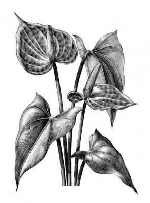 Plakat Anturium botaniczne rocznika Grawerowanie ilustracja clipart na białym tle