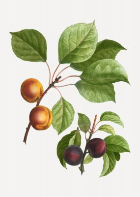 Plakat Apricots and plums