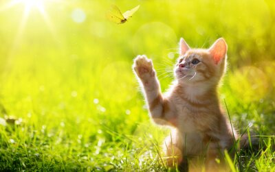 Plakat art Young cat / kitten hunting a butterfly with Back Lit