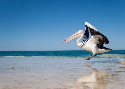 Plakat Australia, Yanchep Lagoon, 18.04.2013, Australian Pelican startu w locie z australijskiej plaży
