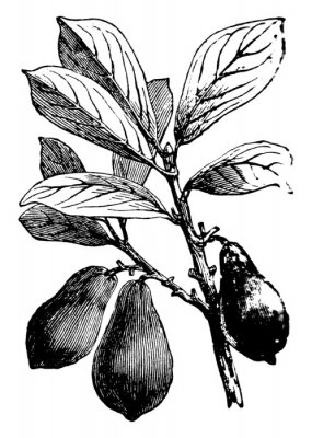 Plakat Avocado vintage illustration.