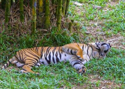 Plakat Azjatycki tygrys.