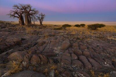 Plakat Baobaby w świetle wczesnego poranka