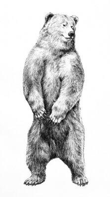 Plakat Bear illustration of dangerous animal standing on hind legs, hand drawn grizzy bear pencil sketch, wild animal