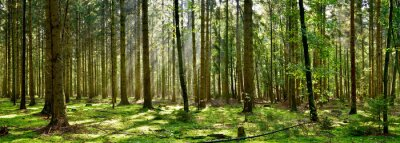 Plakat Beautiful forest with moss-covered soil and sunbeams through the trees