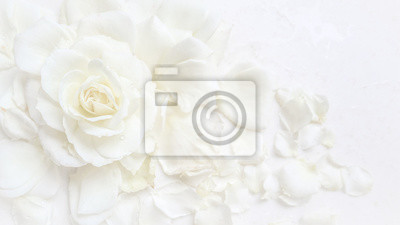 Plakat Beautiful white rose and petals on white background. Ideal for greeting cards for wedding, birthday, Valentine's Day, Mother's Day